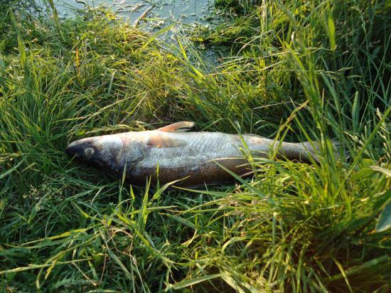 Судак (2.5 кг)-первый наш ужин в конце первого дня сплава по Керженцу.