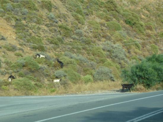 """даже на шоссе можно встретить """"горных"""" коз"""